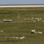Ud over fugle er der mange får i marsken